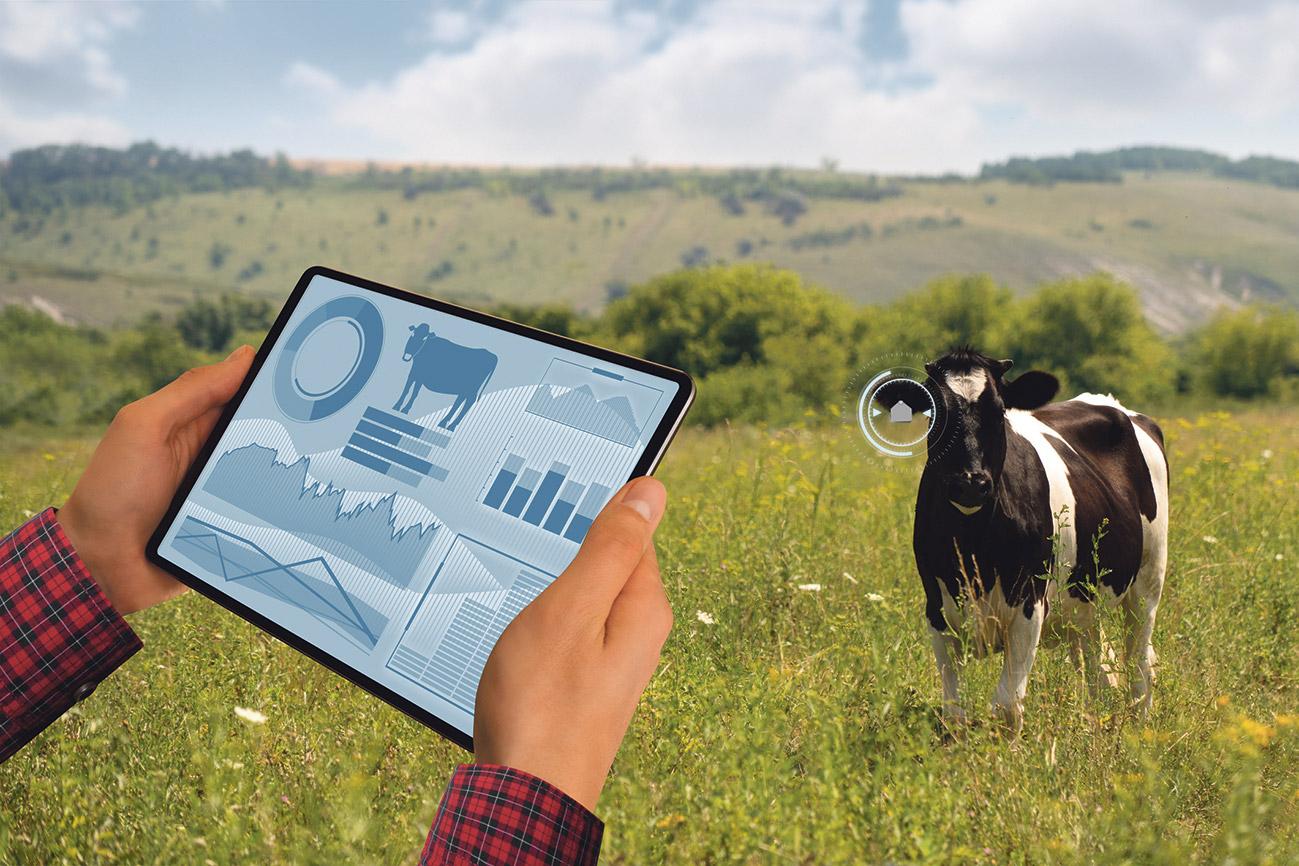 Kuh auf der Weide wird von einem Tablet überwacht