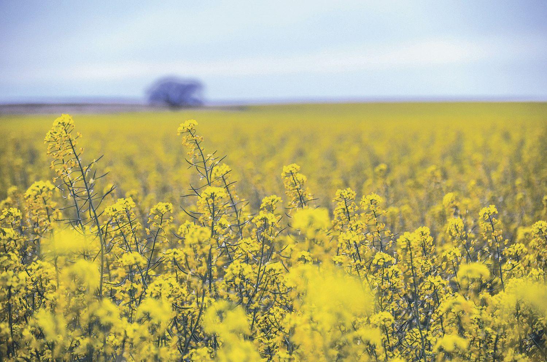 Rapsfeld; Rapsöl kann als Biokraftstoff verwendet werden