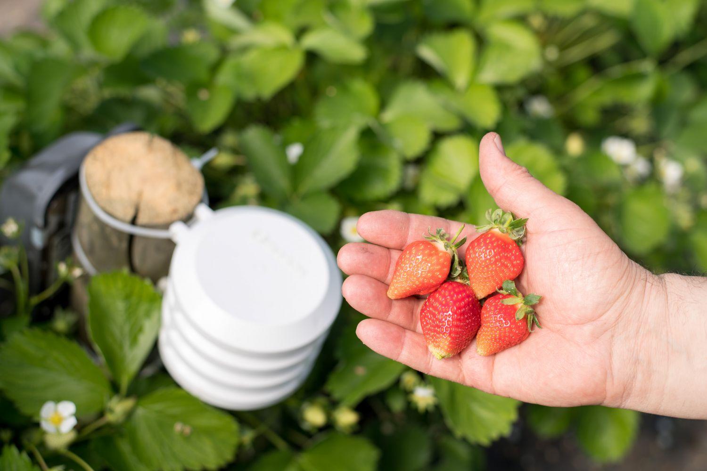 Jemand hält Erdbeeren in der Hand, im Hintergrund ist ein Sensor-System zur Optimierung der Ernte zu sehen