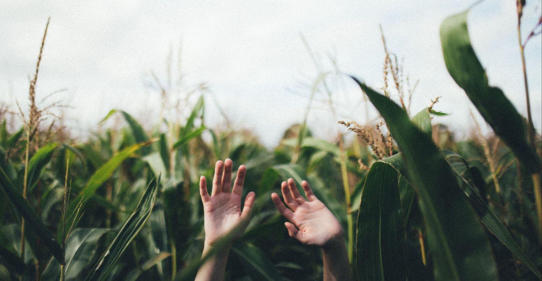 Jemand hebt die Hände in einem Maisfeld; Thema: Fördermittel in der Landwirtschaft