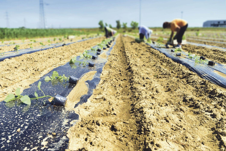 Aussaatstreifen auf einem Feld; Thema: Biokunststoffe