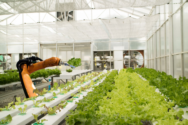 Eine Maschine erntet im Gewächshaus Salat. Thema: smarte Landwirtschaft