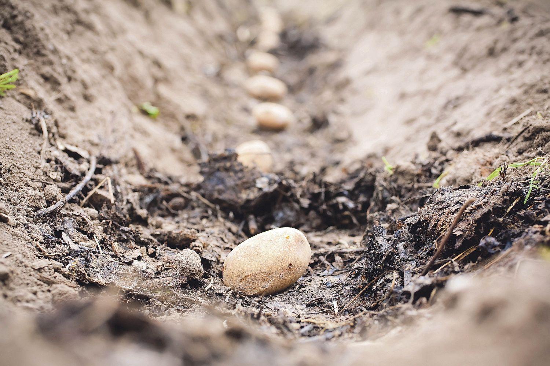 Kartoffelaussaat, Thema: Bodenfruchtbarkeit