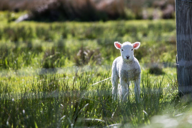 Lamm auf einer Wiese, Thema: Deutsche Landwirtschaft
