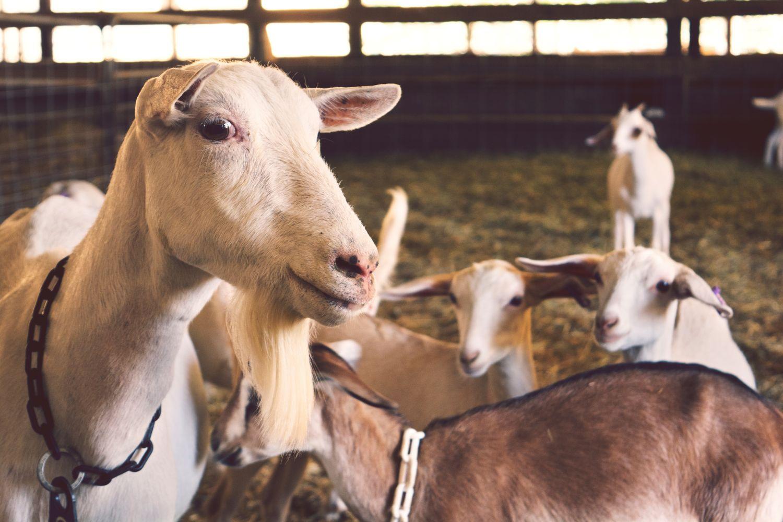 Ziegen im Stall, Thema: Antibiotikaresistenz